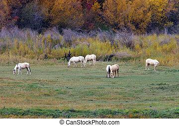 paarden, in, akker