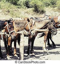 paarden, in, stal