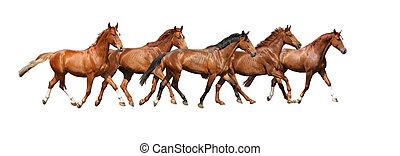 paarden, kosteloos, kudde, rennende , achtergrond, witte
