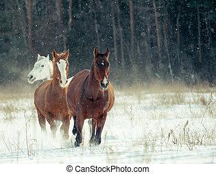 paarden, kudde, in, winter