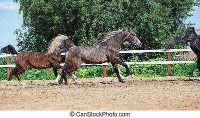 paarden, paddock, rennende , jonge