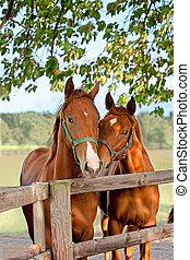 paarden, paddock, twee