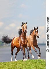 paarden, twee