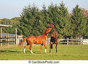 paarden, vecht