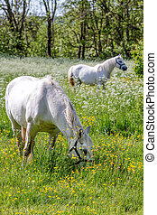 paarden, wei, witte , groene, twee