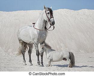 paarden, witte , twee, woestijn