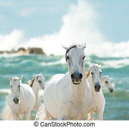 paarden, witte , zee