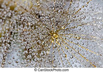 paardenbloem, foto, abstract, web., spin, regen water, achtergrond., black , macro, druppels