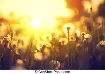 paardenbloem, lente, op, akker, ondergaande zon , achtergrond