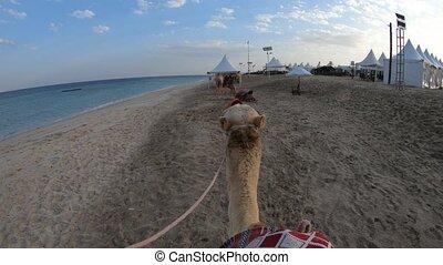 paardrijden, een, kameel