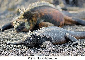 Paare - weiblicher und maennlicher Meer-Leguan