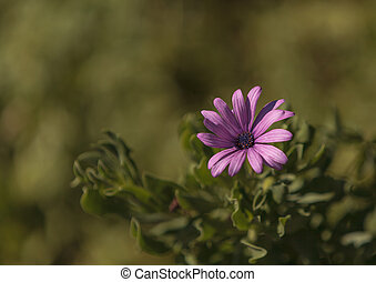 paarse , afrikaans madeliefje, osteospermum
