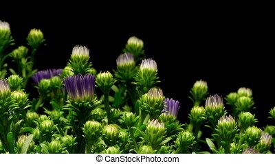 paarse , aster, bloem, timen-afloop