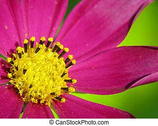 paarse , bloem, rood, purplish
