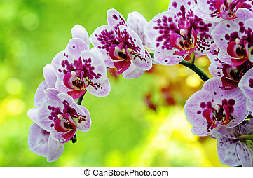 paarse , closeup, orchidee