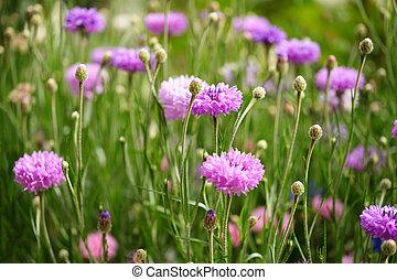 paarse , cornflowers, tuin
