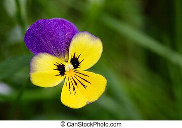 paarse , en, gele bloem