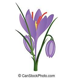 paarse , illustratie, krokus, achtergrond., vector, witte bloemen