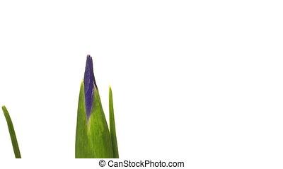 paarse , iris, bloem, timen-afloop