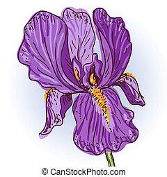 paarse , iris