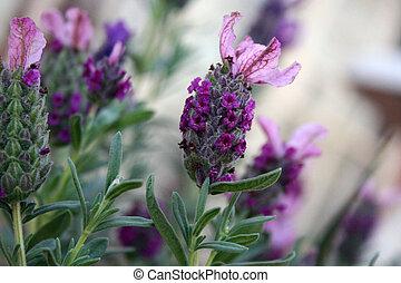 paarse , lavenders
