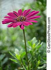 paarse , madeliefje, bloemen, osteospermum