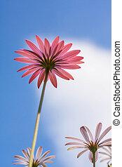 paarse , madeliefje, bloemen, tegen, blauwe hemel