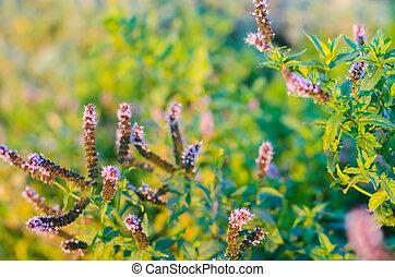 paarse , natuurlijke , behang, mooi, close-up., /, munt, ...