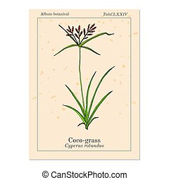 paarse , of, cyperus, zegge, coco-grass, rotundus, ...