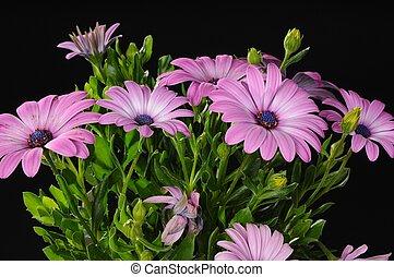 paarse , osteospermum, bloemen