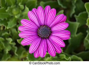 paarse , osteospermum, madeliefje, bloem
