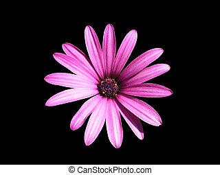 paarse , osteospermum