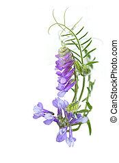 paarse , wild, erwt, bloemen