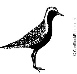 pacífico, golden-plover