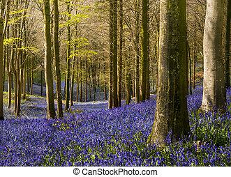 pacífico, ilumina, bosque, luz del sol, bluebell