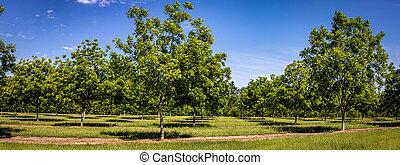 pacana, árbol, huerto, joven