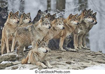 pacco, lupi