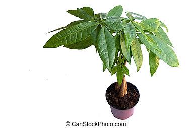 Pachira aquatica on white - Pachira aquatica or money tree...