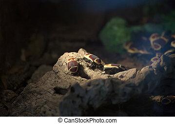Pachnoda Marginata Beetles