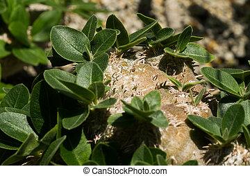 Pachypodium brevicaule, Apocynaceae, Madagascar