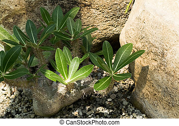 Pachypodium rosulatum, Apocynaceae, Madagascar