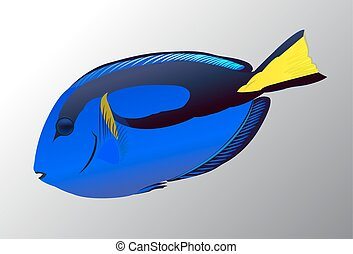 Pacific Blue fish on grey background