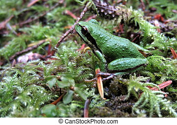 Pacific Chorus Frog on Moss - A Pacific Chorus Frog sitting...