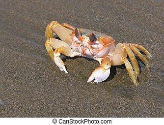 Crab on a pacific beach