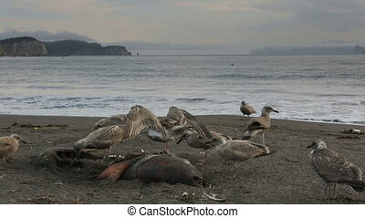 Pacific Gull eating dead seal on the beach.