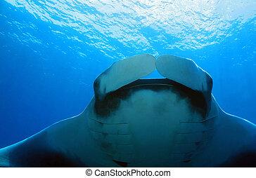 Pacific Manta Ray (Manta Birostris), Caño Island, Costa Rica