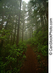 Pacific Northwest Forest - Pacific Northwest rainforest on...