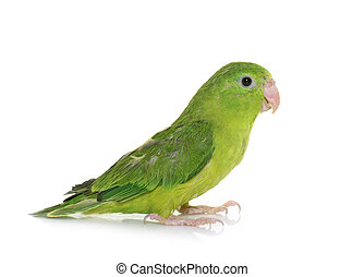 Pacific parrotlet in studio - Pacific parrotlet in front of...
