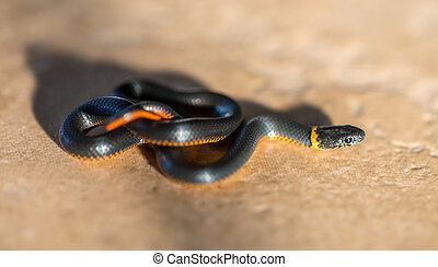Pacific Ring-necked Snake - The ring-necked snake or...