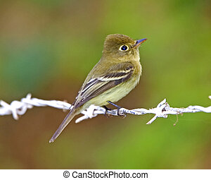 pacific-slope, flycatcher